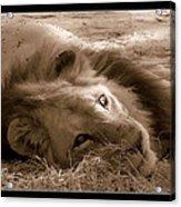 Lion Of Afrrica Acrylic Print