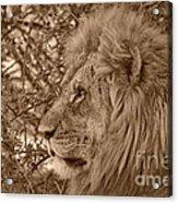 Lion Of Chobe Acrylic Print