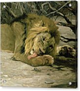 Lion Reclining In A Landscape Acrylic Print