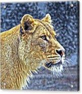 Lion Stare Acrylic Print