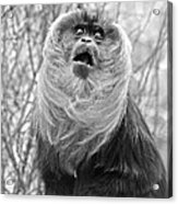Lion Tailed Macaque Acrylic Print