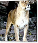 Lioness At Attention Acrylic Print