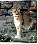 Lioness Acrylic Print