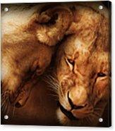 Lioness Love Acrylic Print