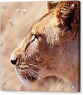 Lioness Staring Intently At Passing Acrylic Print