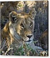 Lioness With Pride In Shade Acrylic Print