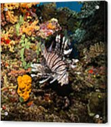Lionfish, Fiji Acrylic Print