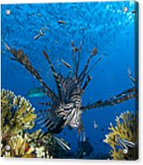 Lionfish Foraging Amongst Corals Acrylic Print