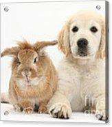 Lionhead-cross Rabbit And Golden Acrylic Print