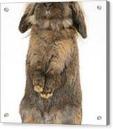 Lionhead Rabbit Acrylic Print