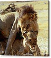 Lions Mating Acrylic Print