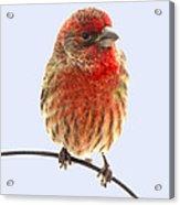 Little Beauty Male Finch I Acrylic Print