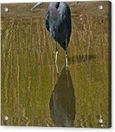 Little Blue Heron Assateague Island Acrylic Print
