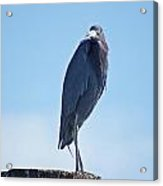 Little Blue Heron II Acrylic Print