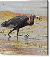 Little Blue Heron In Swamp Acrylic Print