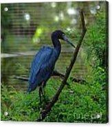 Little Blue Heron Portrait Acrylic Print