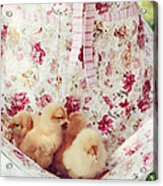 Little Chicks Acrylic Print