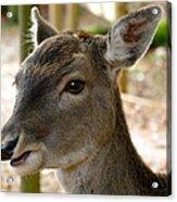 Little Deer Acrylic Print by Karen Grist