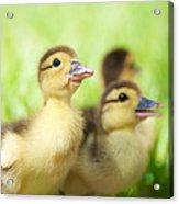 Little Duck. Acrylic Print