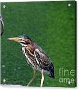 Little Green Heron Acrylic Print