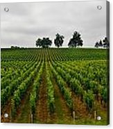 Little Hill In The Vineyard Acrylic Print