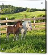 Little Horses At Pasture Acrylic Print