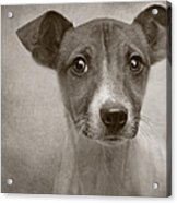 Little Jack Monochrome Acrylic Print by Pat Abbott