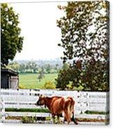 Little Jersey Cow Acrylic Print by Stephanie Frey