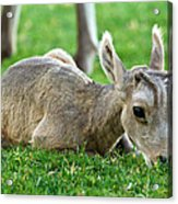 Little Lamb Acrylic Print by James Marvin Phelps