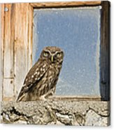 Little Owl Athene Noctua On Window Acrylic Print