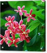 Little Pink Chinese Honeysuckle Flowers  Acrylic Print