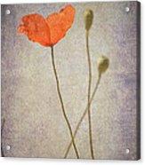 Little Poppy Acrylic Print