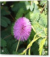Little Purple Bloom Acrylic Print