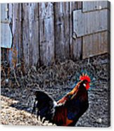 Little Red Rooster Acrylic Print