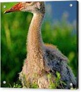 Little Sandhill Cranes Acrylic Print