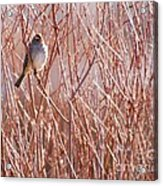 Little Sparrow Acrylic Print