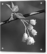 Little White Bells Acrylic Print