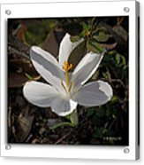 Little White Flower Acrylic Print