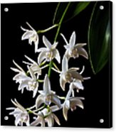 Little White Orchids Acrylic Print