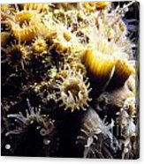 Live Coral Feeding At Night Acrylic Print
