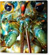 Live New England American Lobsters From Cape Cod Acrylic Print
