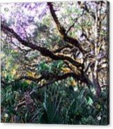 Live Oak Acrylic Print by Christy Usilton