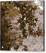 Live Oak In Shower Acrylic Print