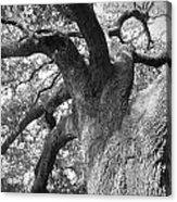 Live Oak Acrylic Print by Waverley Manson