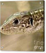 Lizard Portrait Acrylic Print
