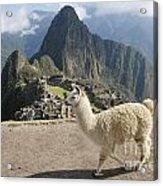 Llama And Machu Picchu Acrylic Print