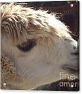 Llama Mmama Acrylic Print