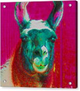 Llama Of A Different Color Acrylic Print