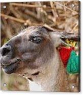 Llama Of Machu Picchu Acrylic Print