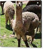 Llama On The Inca Trail Acrylic Print